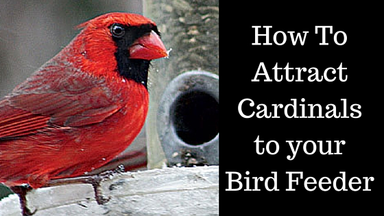 How To Attract Cardinals to your Bird Feeders