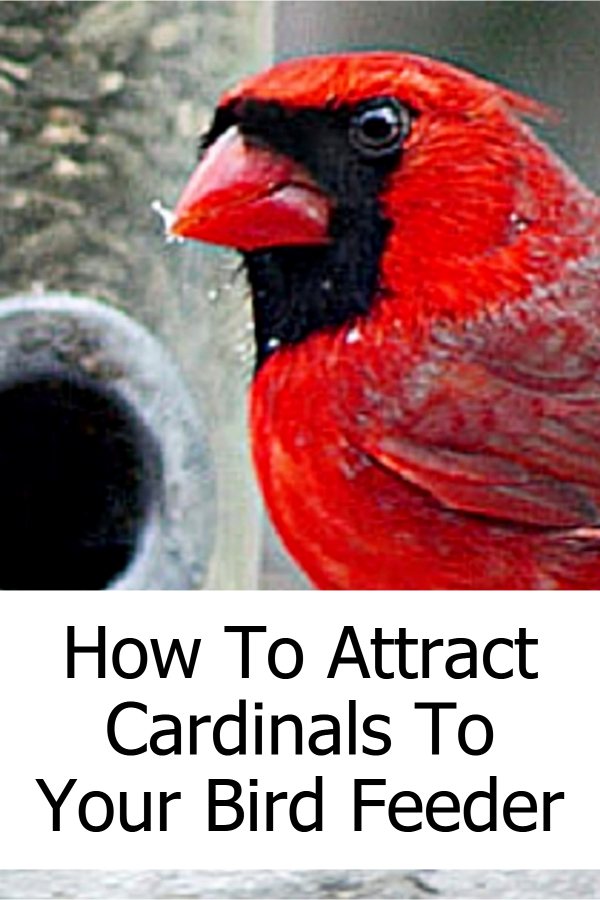 Backyard Bird Feeders Tips: How To Attract Cardinals To Your Bird Feeder