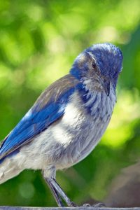 How to attract Blue Birds to your yard