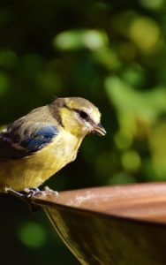 Bird drinking from my backyard bird bath