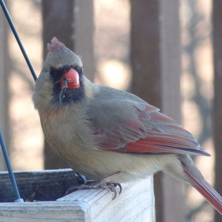 Mrs Cardinal at my bird feeder in my backyard - gorgeous!
